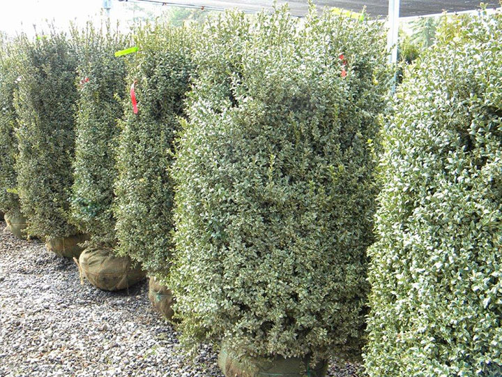 BUXUS AUREA 4 and 5